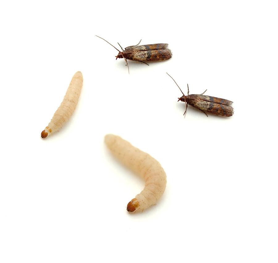indian-meal-moth.jpg